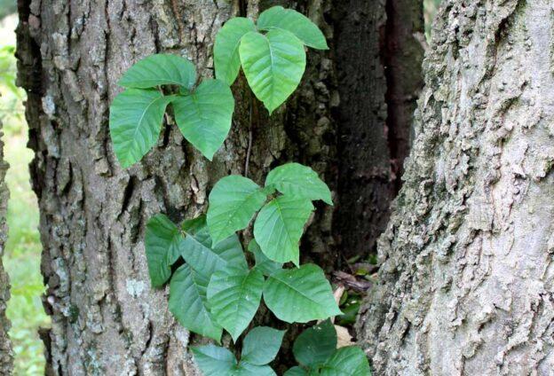 Poison ivy on tree