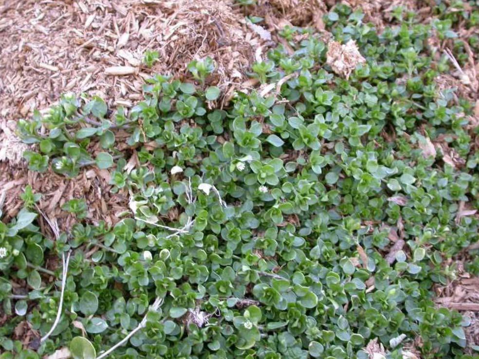 Winter weeds in garden